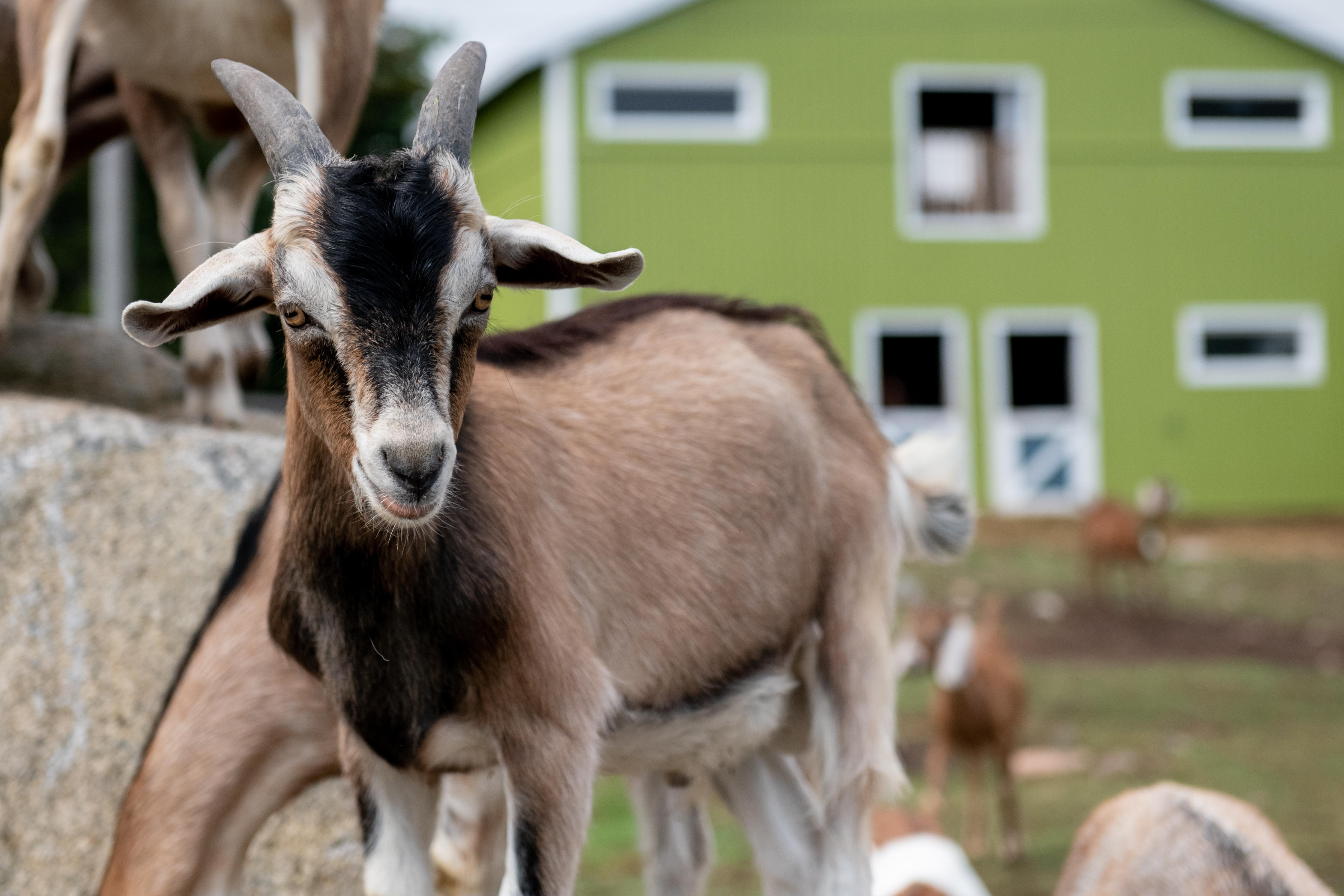Groovy Goat Farm Cabot Trail